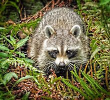 Raccoon (Procyon lotor) by Jeff Ore