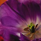 PURPLE TULIP by RoseMarie747