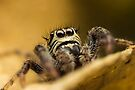 Macaroeris nidicolens jumping spider high magnification photo by Mario Cehulic