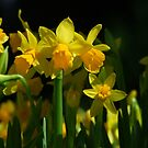 Tete a Tete Daffodils by Gabrielle  Lees