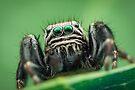 Evarcha arcuata male jumping spider by Mario Cehulic