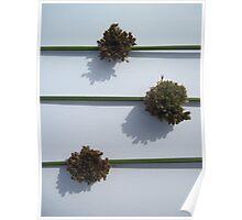 Juncus Flowers Poster