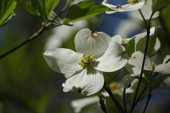 Wild Dogwood Blossom by Rick  Friedle