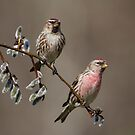 Pair of Redpolls by Bill McMullen