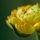 Ranunculus by Caterpillar