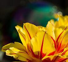 Sunshine Through Tulips by Cathy Donohoue