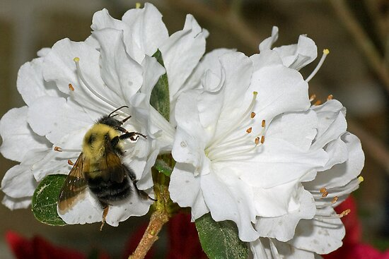 Bumble at Work by Otto Danby II