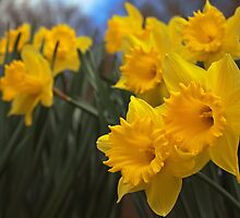 Daffodils by PigleT
