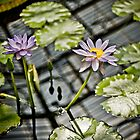 Water Lily by mlphoto