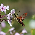Hummingbird Moth by joycemlheureux