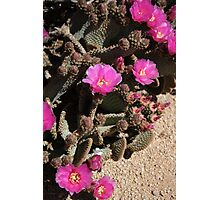 Prickly Pear Cactus Flowers Blooms Photographic Print