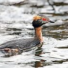 Slavonian Grebe by Maria Gaellman