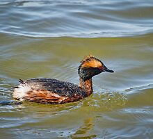 Horned Grebe 1 by Thomas Young