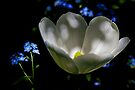 Tulip and Forget-Me-Not by John Butler