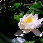 White Water Lily by Melissa Holland