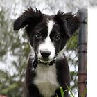Border Collie Puppy by jockscahill