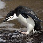 Chinstrap Penguin - Deception Island, Antarctica by DestnUnknown