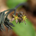 Blue Cohosh by Debbie Oppermann