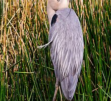 Great Blue Heron by Edward Fielding