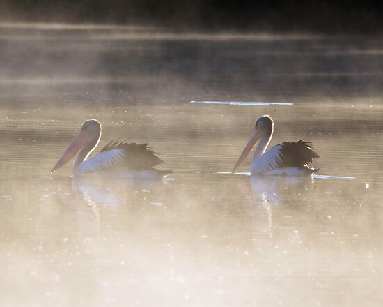 Fishing in the morning Fog  Pelicans  Canberra Australia  by Kym Bradley