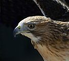 Red Tailed Hawk by Nigel Bangert