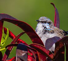 Fairy Wren On Lookout by NickVerburgt