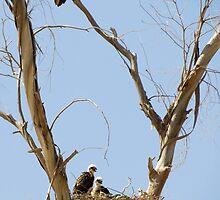 Red-tailed Hawks ~ Watchful eye by Kimberly Chadwick