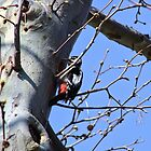 Great Spotted Woodpecker by brijo