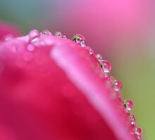 tulip drops by gmws
