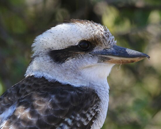 Up Close and Personal   ~  Kookaburra ~  Canberra Australia  by Kym Bradley