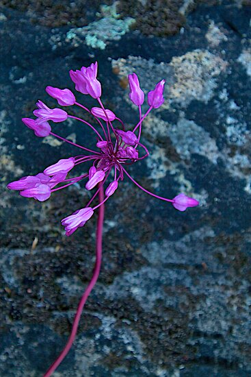 Twining Snake Lily by John Butler