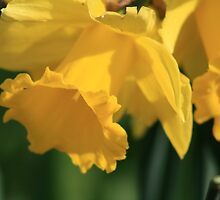 Daffodils by ellismorleyphto