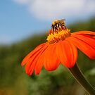 Bee on Orange Flower by lauracronin