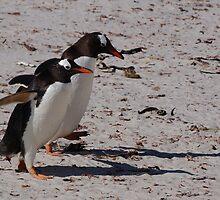 Gentoo Penguins, Falkland Islands by Geoffrey Higges