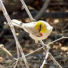 "Verdin ~ Natures 'lil ""Ham"" by Kimberly P-Chadwick"