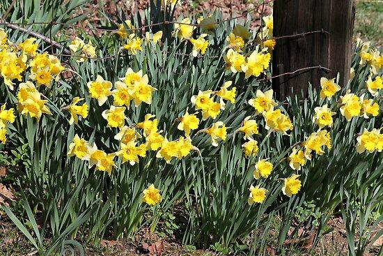 Country Daffodils by joycemlheureux