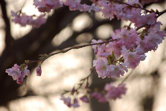 Spring Blossom by lauracronin