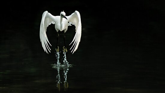 Little Egret  by Dave Flynn