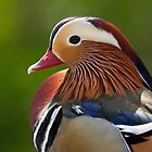 Wood Duck.. by Lauren Tucker