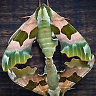 Lime Hawk Moths Mating by mlphoto