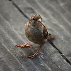 Cheeky Sparrow by lauracronin