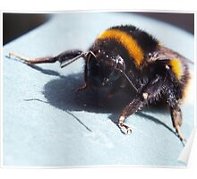 A sunbathing bumble bee Poster
