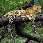 Leopard on a Limb by SandraWidner