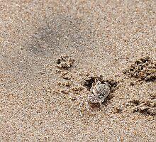Juvenile Ghost Crab - Playas, Ecuador by Paul Wolf