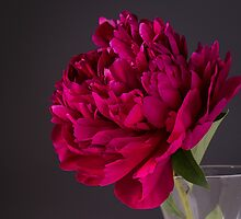 Red Peony Flower by Edward Fielding