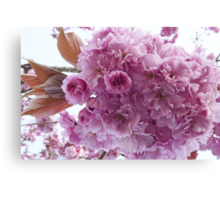 It's Cherry Blossoms Time Canvas Print