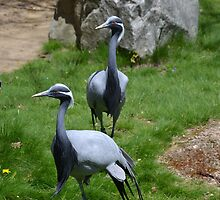 Two Demoiselle Cranes by JMG1883