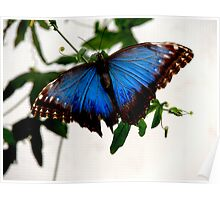 Blue Morpho - Perched Poster