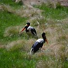 Two Saddle-billed Storks by JMG1883