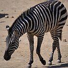 Zebra by JMG1883